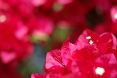 Bokeh Bougeh (jciv) Tags: flowers flower macro colorful dof noflash bougainvillea jpeg unedited sooc file:name=dsc04542