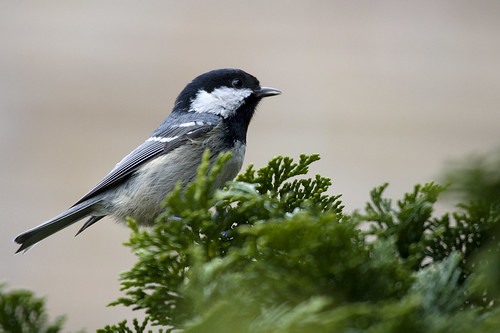 Zwarte mees - Coal tit - Parus ater by webted.