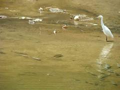 Garça-branca de olho nos peixes que sobreviveram