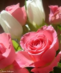 Afternoon Delight (Lianne Verkooijen) Tags: rose rosa roos tulip tulipa tulp flowerscolours lianneverkooijen