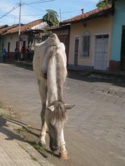 Abused horse, Leon Nicaragua (ashabot) Tags: horse homeless leon nicaragua abuse homelessanimals