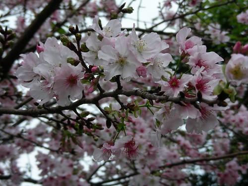 天元宮-吉野櫻