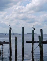 Pelicans Fernandina 081868
