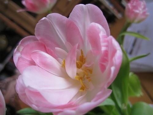 Tulipaner til spotpris