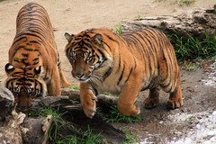 The Ponce! (MickiP65) Tags: tiger tigers sumatrantiger sumatrantigers sumatra animals mammal mammals zoo zoos animalia chordata mammalia losangeleszoo lazoo losangeles california us usa northamerica snow winter wild wildlife nature creation creature creatures michellepearson canoneos30d copyrighted allrightsreserved 031409 03142009 mar142009 2009 snowday snowdays rubyphotographer abigfave blueribbonwinner goldstaraward ponce leap leaping