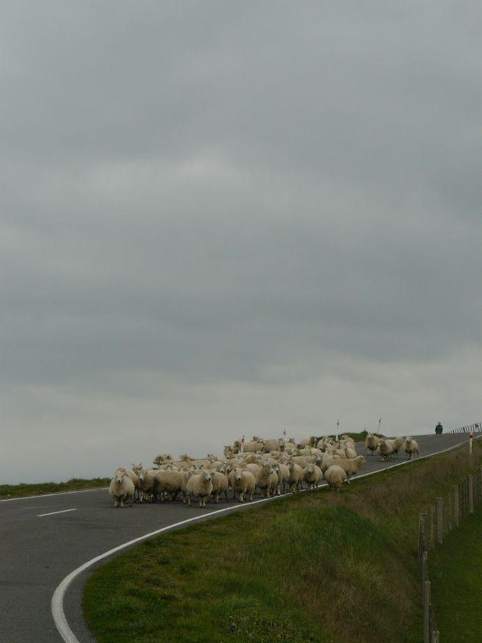 Mouton Nouvelle Zelande #1