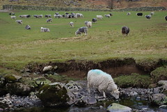 Thirsty (rajwitt) Tags: uk sheep pentax lakedistrict k200d