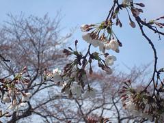 野川の桜1