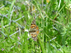 DSC00087 (admoreily) Tags: butterfly wildflowers paintedlady