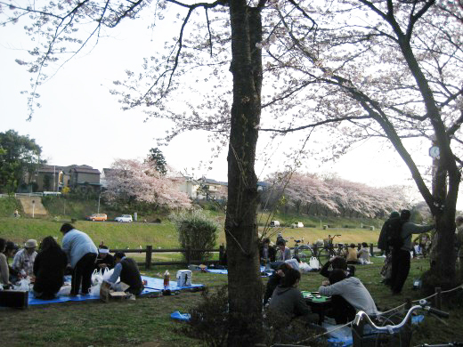 Another Scene of sakura blooming