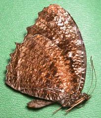Elymnias casiphone