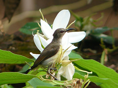 Purple-Rumped Sunbird (F) (SivamDesign) Tags: bird fauna female lumix backyard panasonic sunbird purplerumpedsunbird nectariniazeylonica purplerumped fz8 dmcfz8