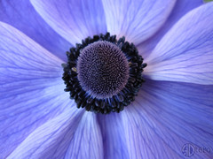 BlueFlower (!Ryno) Tags: blue flower macro up canon petals close purple petal