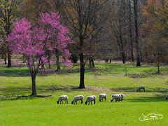 Red Bud & Sheep (JGo9) Tags: tree wool grass canon sheep kentucky ky powershot redbud pulaski supereco s51s