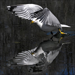 ~ Up & Away ~ (ViaMoi) Tags: ontario canada nature speed canon photography fly photo wings photographer image seagull ottawa flight canadian naturalist 200mm ottawacanada 40d abigfave platinumphoto theunforgettablepictures canon40d naturewatcher viamoi picwithsoul 100commentgroup miraclebananadiet