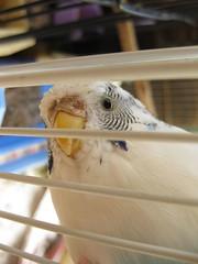 IMG_3212 (glower_worm) Tags: pets bird budgie cockatiel