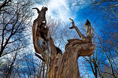 Majestic old tree trunk (pa_cosgrove) Tags: trees sky tree nature photo amazing group deadtree worn weathered ultrawide canonef1740mmf4lusm the mendonpondspark potogold canoneos5dmarkii