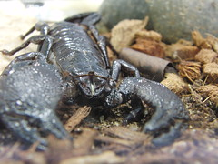 CIMG1187 (Lori & Todd) Tags: victoria scorpion bugmuseum