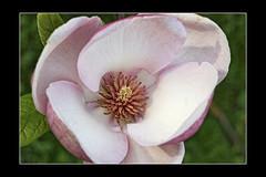 Magnolia #6 (foto_morgana) Tags: flowers flores flower tree fleurs spring flora belgium belgique belgie blumen magnolia botanicgarden lente printemps bloemen jardinbotanique magnoliaceae plantentuinmeise topazadjust