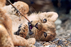 A twig is the best toy! (Tambako the Jaguar) Tags: wild baby playing cute cat mouth zoo cub schweiz switzerland big nikon feline leo small zurich lion adorable kitty cuddly lovely zrich lying lwe felid lwen d300 panthera lionceaux pantheraleo jasraj jeevana lionceau aplusphoto lwenbaby vosplusbellesphotos
