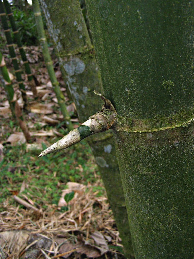 Guadua angostifolia Thorn