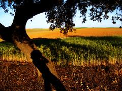somos rboles (guadags) Tags: shadow naturaleza tree primavera me spring mediterraneo yo abril sombra rbol silueta tronco ecologa texturas trigo medioambiente extremadura ramas ecologico encina teora amithaba