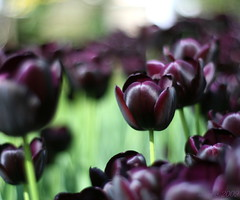 Tulipa 'Queen of The Night' (_nejire_) Tags: england plant black flower london nature canon eos 50mm flora kiss bokeh 14 explore tulip fp frontpage tulipa carlzeiss 6h chelseaphysicgarden 30faves 100faves niftyfifty 50faves 10faves 40faves 60favs 710pm 70faves 25faves nejire 80faves 400d 90faves canoneos400d 110faves kissx fave10 fave30 fave50 mhashi fave25 fave40 fave60 fave70 fave80 carlzeissplanart1450ze fave90 fave100 fave110 tulipaqueenofthenight 9726424g1010pm 15743604g8am