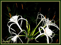 Hymenocallis caribaea (Caribbean Spiderlily, White Lily, Spider Lily) in our garden, April 24 2009