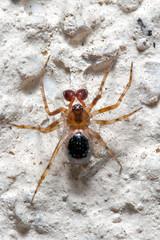 araignee Neriene montana (goliom) Tags: spider montana translucid araignee neriene