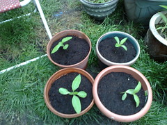 Sunflowers (prepareathomeuk) Tags: plants home vegetables fruit herbs gardening small seeds pots compost seedlings containers