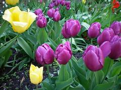 Tulip Mingle (corinna4) Tags: flowers flower nature garden tulips tulip corinna4