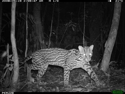 The Smithsonians National Zoo scientists set up camera traps in a remote section of the Amazon rain forest to gather data about the variety of species that inhabit it, including this ocelot, Smithsonians National Zoo, Creative Commons: Attribution 2.0.
