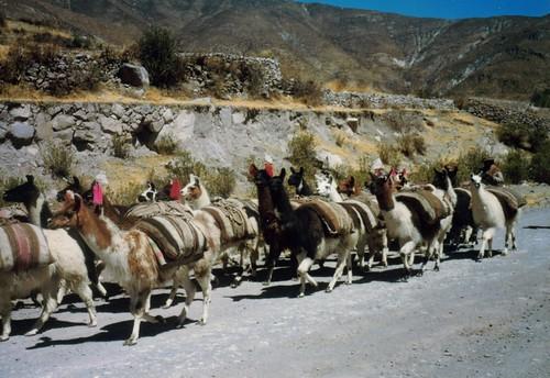 rebaño de llamas valle del Colca Perú