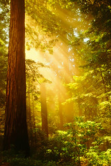 "Inspiring Redwoods (IronRodArt - Royce Bair (""Star Shooter"")) Tags: life california new trees light sun sunlight mist inspiration tree misty fog forest spectacular promo mood ray glow power top glory dramatic glen sunburst redwood redwoods rays through burst"
