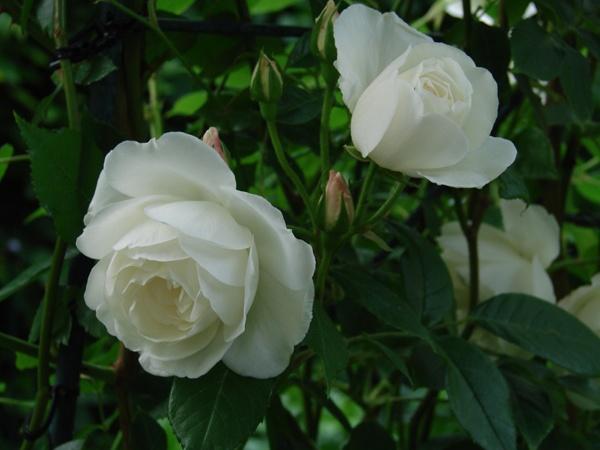 Bloemen:  zuiver wit