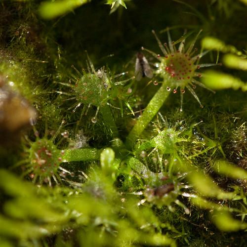 Drosera Lanata x Kenneallyi: The First Seedling