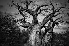 BAOBAB TREES (J.J. Taylor) Tags: lighting wood travel light blackandwhite bw white black tree art texture kilimanjaro monochrome strange lines rural outside outdoors photography blackwhite wooden big orlando natural florida african unique curves large down bumpy disney safari exotic disneyworld trunk rough wilderness bottletree rar