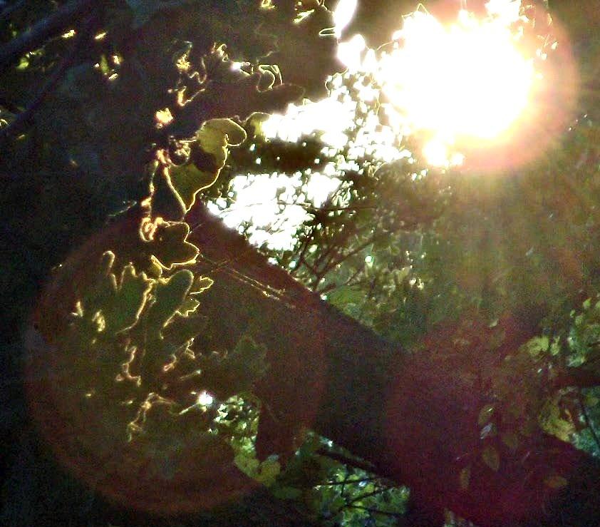 oak shine