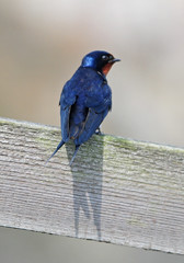 Swallow (Hirundo rustica) on a Wooden Fence Rail (Steve Greaves) Tags: wood blue summer bird nature fence countryside wooden bokeh wildlife aves naturalhistory fencing perched resting swallow barnswallow avian hirundorustica 2xteleconverter nikond300 nikonafsii400mmf28ifedlens manfrottomonopod680b