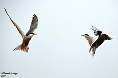 (Birds of Kuwait (Alshayji)) Tags: bird birds kuwait kubbar