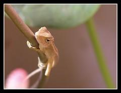 I am watching you! (Sajith Kurian) Tags: macro green nature dof chameleon