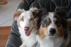 Lilli and Leila (heal3r) Tags: freestyle frisbee aussie australianshepherd lilli leilani bluemerle dogtraining redmerle discdog frisbeedog discdogblog