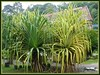 Pandanus tectorius on the left and, on the right is Pandanus variegatus