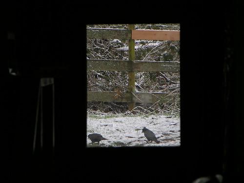 Crows through back door