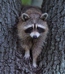 Raccoon (JRIDLEY1) Tags: fab tree animal kensington raccoon zenfolio nikond3 goldstaraward jridley1 jimridley dailynaturetnc09 httpjimridleyzenfoliocom photocontesttnc10 lifetnc10 photocontesttnc11 photocontesttnc12