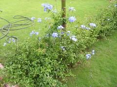 Plumbago auriculata (rvicini) Tags: plumbago azulina