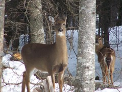 I'll watch your back (Lily C.) Tags: winter snow canada animal hiver newbrunswick neige animaux deers lilyc fantasticwildlife illwatchyourback cheuvreil