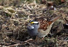 white throated sparrow (umpbump) Tags: bird sparrow blendonwoods whitethroatedsparrow whitethroated