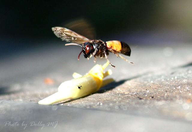 Hornet3