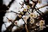Plum Blossoms (Mullenkedheim) Tags: flowers japan spring plum toyama ume ef50mmf18ii tonami 梅 富山 砺波
